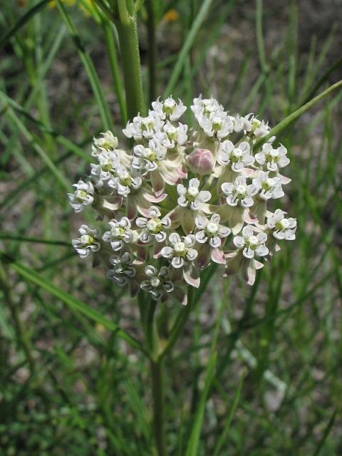 Milkweeds : Asclepias