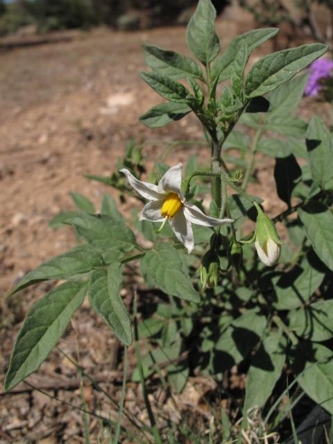Wild Potato Solanum Jamesii